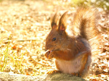 Eichhörnchen mit Nüssen Stockbilder