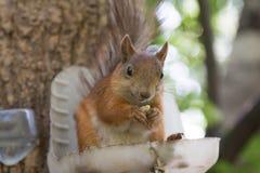 Eichhörnchen mit Nüssen Lizenzfreie Stockbilder