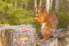 Eichhörnchen mit Nüssen und Sommerwald auf Hintergrund Stockfotografie