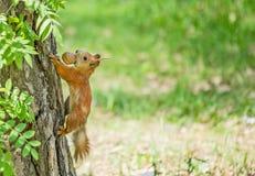 Eichhörnchen mit Nuss Lizenzfreie Stockbilder