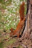 Eichhörnchen mit Nuss Lizenzfreie Stockfotografie