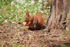 Eichhörnchen mit Nuss Stockfotos
