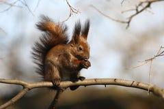 Eichhörnchen mit Nuss Lizenzfreies Stockbild