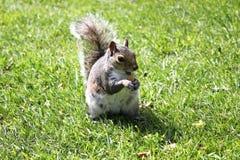 Eichhörnchen mit Nuss Stockfoto