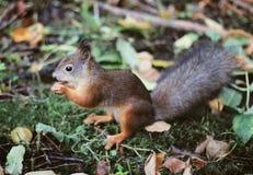 Eichhörnchen mit Nuss Stockbild