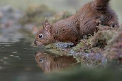Eichhörnchen mit Reflexion im Wasser stockfoto