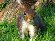 Eichhörnchen-Nahaufnahme Lizenzfreies Stockbild