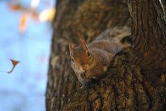 Eichhörnchen-nahes hohes Lizenzfreies Stockfoto