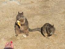 Eichhörnchen-Niedlichkeit Stockfoto