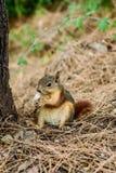 Eichhörnchen-Nussnagen lizenzfreie stockfotos