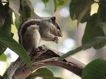 Eichhörnchen oder gestreiftes Eichhörnchen drei, die Lebensmittel essen Stockfoto