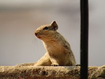 Eichhörnchen oder gestreiftes Eichhörnchen drei, die Lebensmittel essen Stockbild