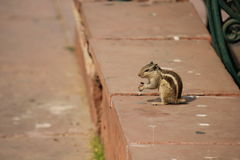 Eichhörnchen ohne das Endstückessen Stockfotos