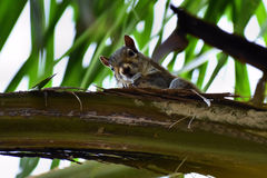 Eichhörnchen-Schauen lizenzfreies stockfoto
