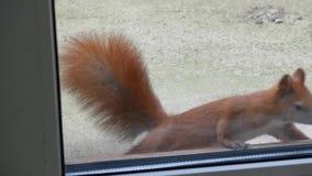 Eichhörnchen schaut durch das Fenster stock video footage
