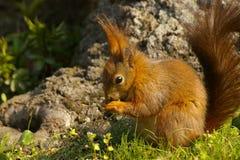Eichhörnchen, Schonbrunn, Wien Lizenzfreie Stockfotografie