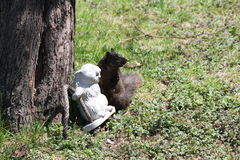 Eichhörnchen, Schwarzes mit Freund Lizenzfreie Stockbilder