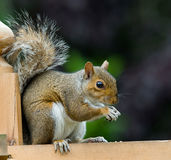 Eichhörnchen Sciuridea lizenzfreies stockbild