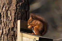 Eichhörnchen, Sciurus gemein, auf Zufuhr Lizenzfreie Stockbilder