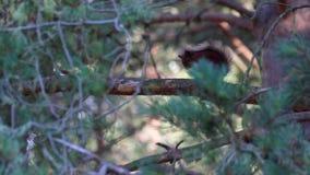 Eichhörnchen, Sciurus gemein, stehend unter dem Laub einer Kiefers auf einem sonnigen Juli-Morgen im Rauchtquarz NP, Schottland s stock video footage