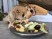 Eichhörnchen-Segelflugzeug mit frisches Obst- und GemüseBehälter Stockbild
