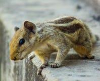 Eichhörnchen-sehr Nahaufnahme Stockfotografie