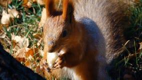 Eichhörnchen sitzt auf dem Gras und isst stock video