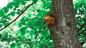Eichhörnchen sitzt auf ein Baum 50 fps stock video