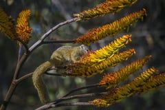 Eichhörnchen Smith Busch in Nationalpark Kruger, Südafrika Lizenzfreies Stockbild