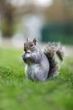 Eichhörnchen Snacking Stockbild
