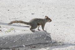 Eichhörnchen springt in die Straße Stockfoto