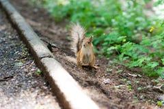 Eichhörnchen am Stadt-Park lizenzfreie stockfotos