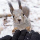 Eichhörnchen steht auf behandschuhter Hand still stockfotografie