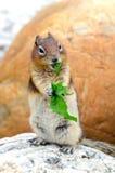 Eichhörnchen-Streifenhörnchen Lizenzfreie Stockfotos