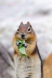 Eichhörnchen-Streifenhörnchen Stockfotos