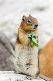 Eichhörnchen-Streifenhörnchen Stockfoto