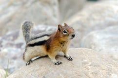 Eichhörnchen-Streifenhörnchen Stockbild