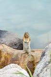 Eichhörnchen-Streifenhörnchen Stockbilder
