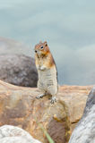 Eichhörnchen-Streifenhörnchen Lizenzfreies Stockfoto