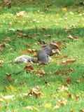 Eichhörnchen-Streifenhörnchen Eatting Stockbilder