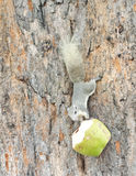 Eichhörnchen und die Kokosnuss. Stockfoto