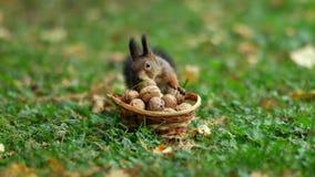 Eichhörnchen und einige Nüsse stock video