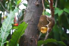 Eichhörnchen und ihr Jackfruit lizenzfreies stockfoto