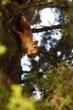 Eichhörnchen und Nüsse Lizenzfreies Stockbild