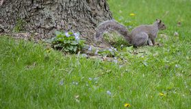 Eichhörnchen und Veilchen Stockfoto