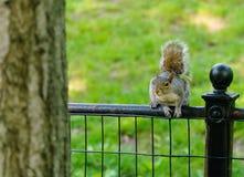 Eichhörnchen ungefähr zum Springen Stockfotografie