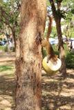 Eichhörnchen, welche die Kokosnuss essen Lizenzfreie Stockfotos