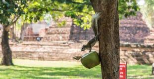 Eichhörnchen, welche die Kokosnuss essen Stockfotografie