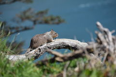 Eichhörnchen, welches die Ozeannahaufnahme übersieht Stockbilder