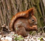 Eichhörnchen zerfrisst eine Mutter stockfoto
